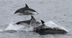 Dolphins from the Isle of Lewis